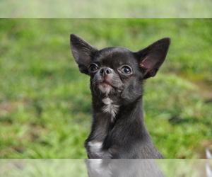 Main photo of Chihuahua Dog Breeder near RESEDA, CA, USA