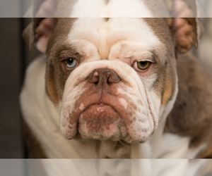 Bulldog Dog Breeder near ARLINGTON, TX, USA