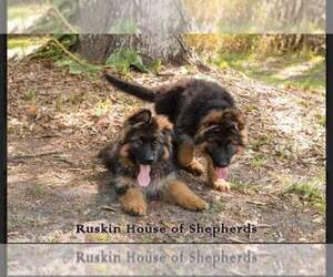 Main photo of German Shepherd Dog Dog Breeder near RUSKIN, FL, USA
