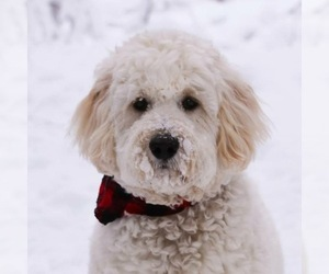Main photo of Bernedoodle Dog Breeder near HANSKA, MN, USA
