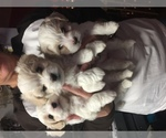 Coton de Tulear Breeder in NEWPORT, TN, USA