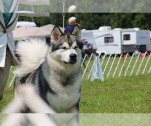 Alaskan Malamute Dog Breeder near STOCKTON, NY, USA