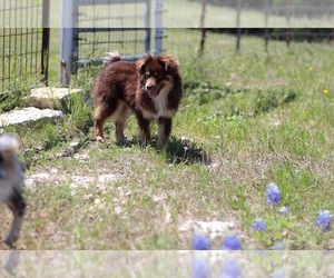 Miniature American Shepherd Dog Breeder near KOPPERL, TX, USA