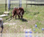 Miniature American Shepherd Breeder in KOPPERL, TX, USA