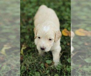 Goldendoodle Dog Breeder in MANNS CHOICE,  USA