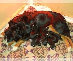 Main photo of Bernese Mountain Dog Dog Breeder near CHUBBUCK, ID, USA