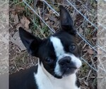 Boston Terrier Breeder in REMINGTON, VA, USA