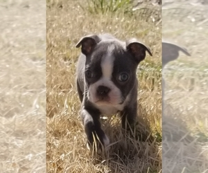 Boston Terrier Dog Breeder in ADNER,  USA