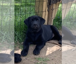 Labrador Retriever Dog Breeder in FOREST HILL,  USA