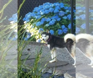 Alaskan Klee Kai Breeder in AUMSVILLE, OR, USA