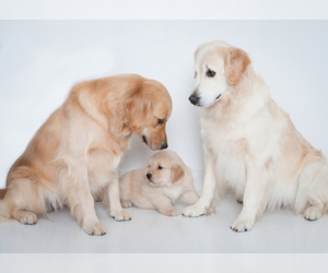 Main photo of Golden Retriever Dog Breeder near CLARKSVILLE, TN, USA