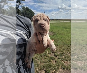 Chinese Shar-Pei Breeder in OBLONG, IL, USA