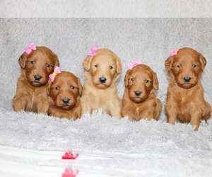 Goldendoodle Dog Breeder in WAKARUSA,  USA