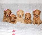 Goldendoodle Breeder in WAKARUSA, IN, USA