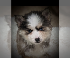 Pomsky Dog Breeder in CENTRALIA,  USA