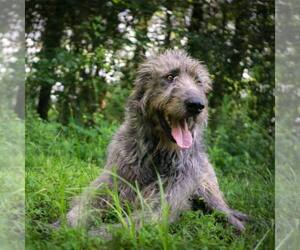 Irish Wolfhound Dog Breeder in PARK CITY,  USA