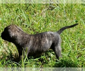 Main photo of Presa Canario Dog Breeder near BRYANS ROAD, MD, USA
