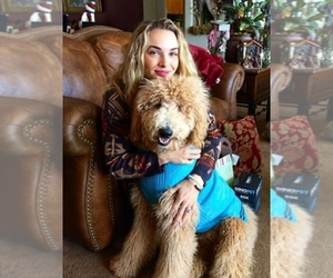 Labradoodle Dog Breeder in EAGLE CREST,  USA