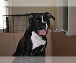Boxer Breeder in GROTON, CT, USA