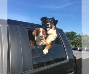 Australian Shepherd Dog Breeder in PINE BUSH,  USA