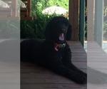 Labradoodle-Poodle (Standard) Breeder in DEMOREST, GA, USA