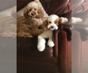 Main photo of Cavapoo Dog Breeder near PHOENIX, AZ, USA