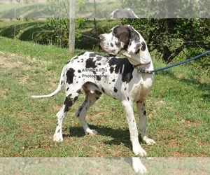 Main photo of Great Dane Dog Breeder near MILLERSBURG, IN, USA