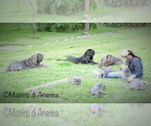 Neapolitan Mastiff Dog Breeder in SOUTHWEST RANCHES,  USA
