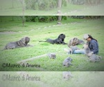 Neapolitan Mastiff Breeder in SOUTHWEST RANCHES, FL, USA
