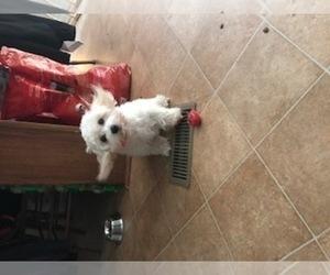 Main photo of Havanese Dog Breeder near THOMASVILLE, NC, USA