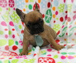 French Bulldog Breeder in FAIR LAWN, NJ, USA