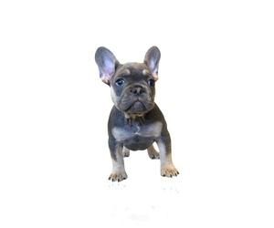 French Bulldog Dog Breeder in GRETNA,  USA