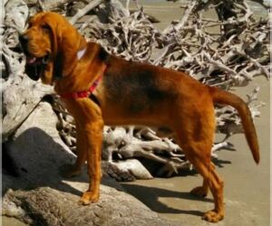 Bloodhound Breeder in TOCCOA, GA, USA