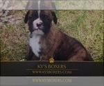 Boxer Breeder in KANKAKEE, IL, USA