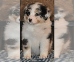 Australian Shepherd Breeder in CHADDS FORD, PA