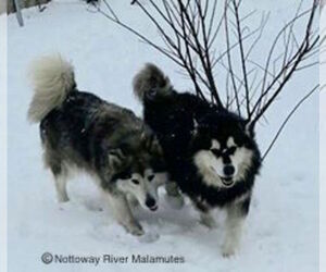 Alaskan Malamute Dog Breeder near COURTLAND, VA, USA