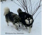 Alaskan Malamute Breeder in COURTLAND, VA