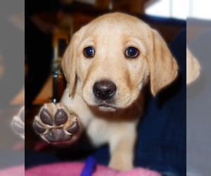 Main photo of Labrador Retriever Dog Breeder near PARKER, CO, USA