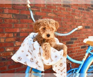 Main photo of Goldendoodle Dog Breeder near E TOWN, KY, USA