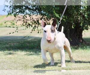 Bull Terrier Dog Breeder near BUCKLIN, KS, USA