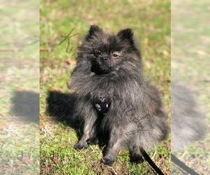 Main photo of Pomeranian Dog Breeder near HUBER, GA, USA