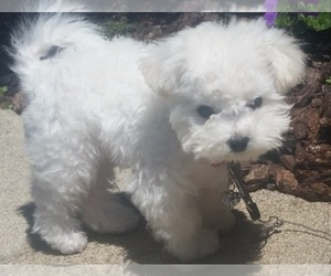 Bichon Frise Dog Breeder near EUGENE, OR, USA