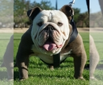 Bulldog Breeder in YUCCA VALLEY, CA, USA