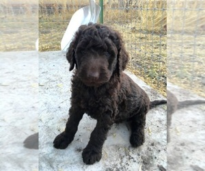Australian Labradoodle Dog Breeder near ALBUQUERQUE, NM, USA