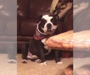 Olde English Bulldogge Breeder in GROVE CITY, OH, USA