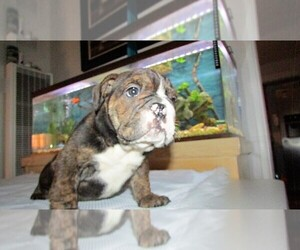 Bulldog Breeder in SAN DIEGO, CA, USA