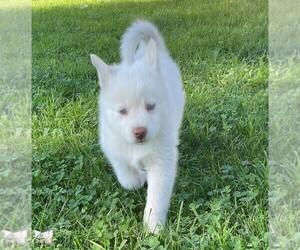 Pomsky Dog Breeder in WOODSTOCK,  USA