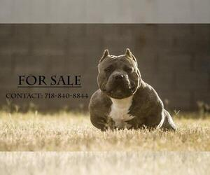 Bullypit Breeder in STROUDSBURG, PA, USA