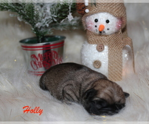 Main photo of Pug Dog Breeder near SHELL LAKE, WI, USA