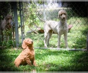 Main photo of Labradoodle Dog Breeder near HOUSTON, TX, USA
